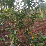成都柠檬树基地出售 柠檬树多少钱一棵
