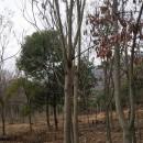 5-7公分黄山栾树价格,黄山栾树价格
