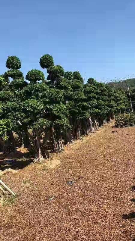 5米高榕树价格 福建榕树基地