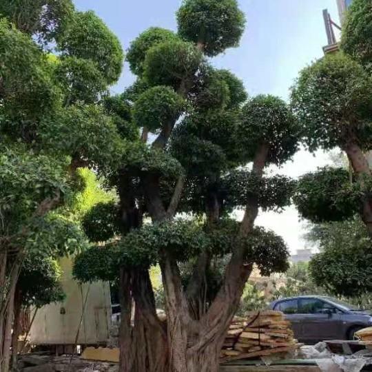 6米高榕树价格 福建榕树基地