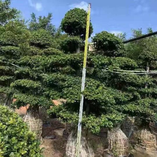 3米高榕树价格 福建榕树基地