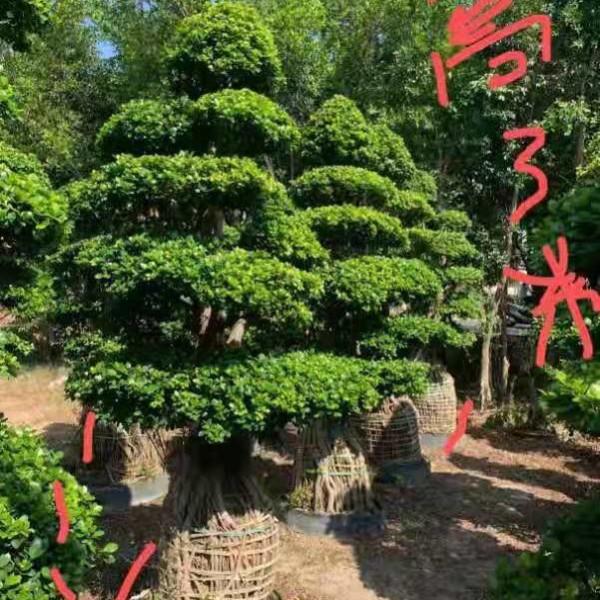 榕树价格多少钱一棵 漳州3米榕树基地批发