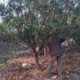 15公分枇杷树价格 江西枇杷树基地