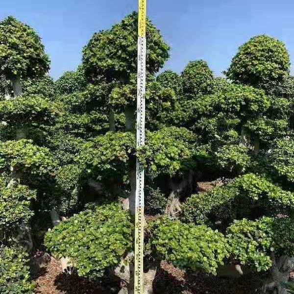2.2米高榕树价格 福建榕树基地