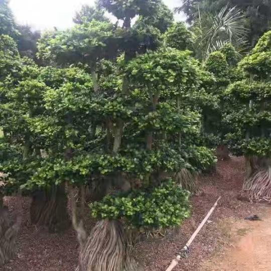 2.8米高榕树价格 福建榕树基地