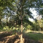 15公分三角枫树苗价格 三角枫树苗最新价格表