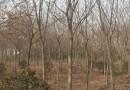 红榉树最新价格表  红榉树专业种植基地