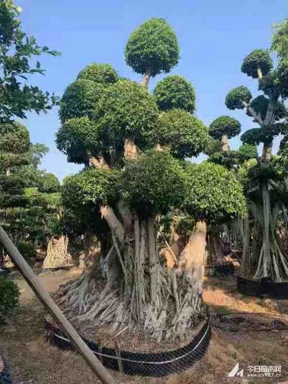 造型榕树盆景价格 福建榕树基地
