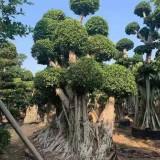 造型榕树盆景多少钱一棵 福建哪里有卖造型榕树盆景