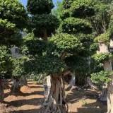 4.5米高榕树价格 福建榕树基地