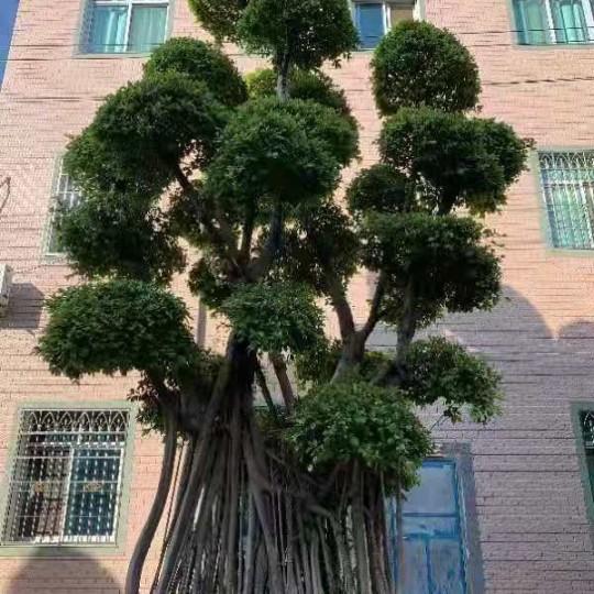 7米高榕树价格 福建榕树基地