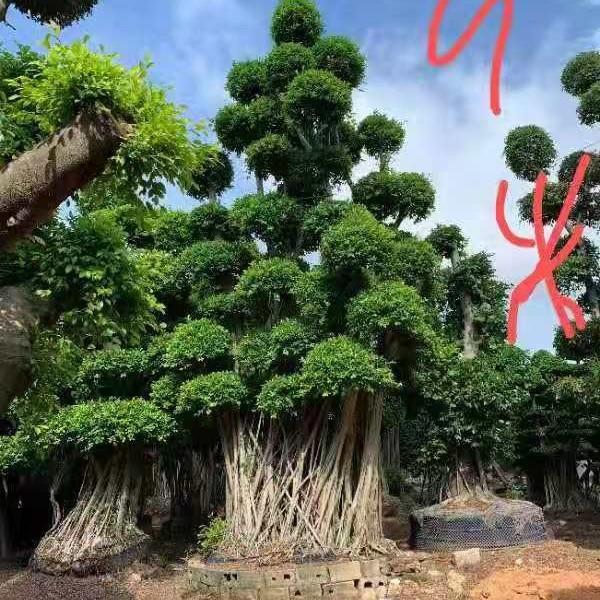7米高榕树价格 漳州榕树基地