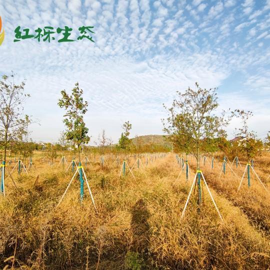 米径5公分娜塔栎价格 娜塔栎基地直销