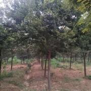 15公分榉树价格 江苏句容榉树基地