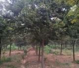 18公分榉树价格 江苏句容榉树基地