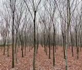 5公分榉树价格 江苏句容榉树基地