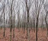 8公分榉树价格 江苏句容榉树基地