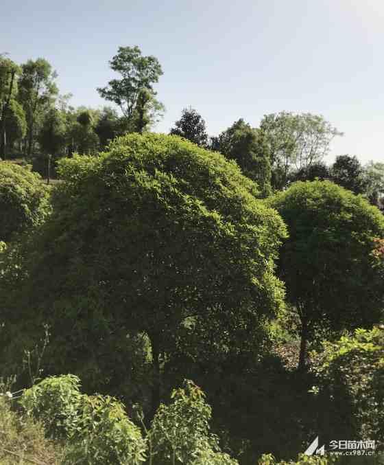 湖北桂花树多少钱一棵?