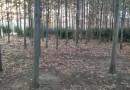 5公分欧洲红栎苗 欧洲红栎树苗价格 红栎基地直销
