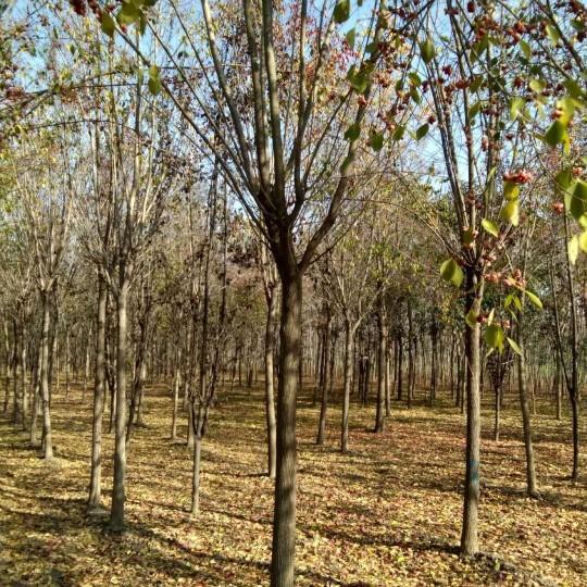 10公分丝棉木基地出售 丝棉木多少钱一棵