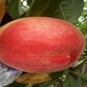 红白桃桃树苗 优质红白桃桃苗多少钱一棵 浙江桃苗基地