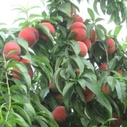 大红桃树苗价格 浙江基地大红桃桃苗价格