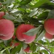 新川中岛桃树苗多少钱一棵 浙江基地新川中岛桃树苗批发