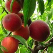 南国红桃苗价格 南国红桃苗多少钱一棵