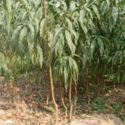 水蜜桃树苗价格 浙江基地水蜜桃桃苗多少钱一棵