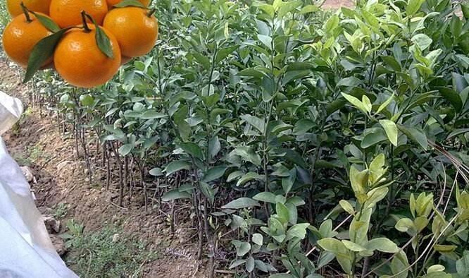 091无核沃柑苗价格 沃柑苗091价格表 浙江沃柑苗基地