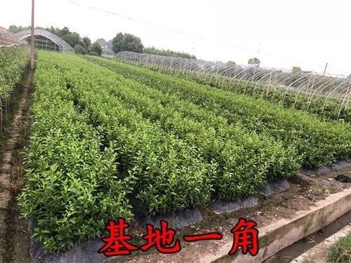浙江阿斯密(明日见)柑橘苗多少钱一棵 两年阿思蜜柑橘苗价格