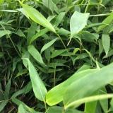 贵州方竹苗供应 基地方竹苗批发价格