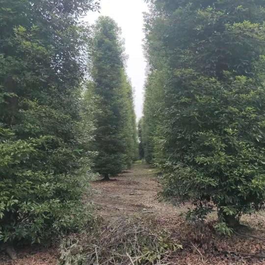 浏阳细叶楠木批发  浏阳细叶楠木基地 细叶金丝楠木价格
