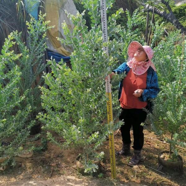 银叶金合欢批发 银叶金合欢袋苗 高度150公分 大量供应