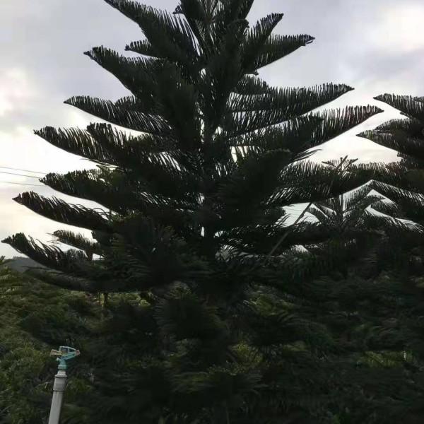 福建南洋杉批发 南洋杉袋苗大量供应 高度5米