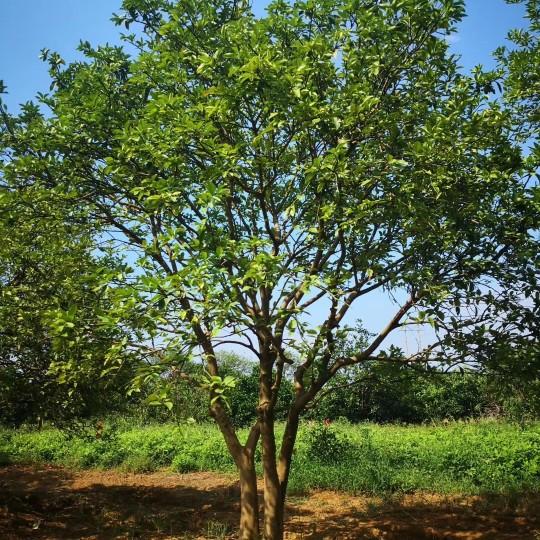 移植香橼树价格 湖南移植香橼树种植基地