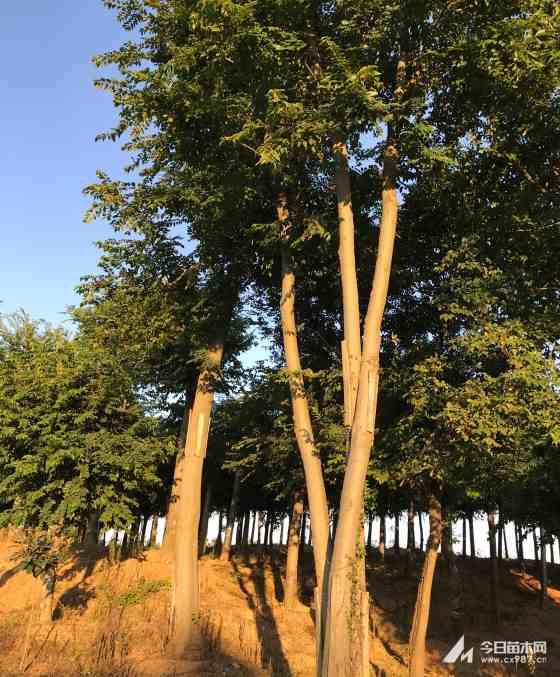 湖北丛生朴树价格 丛生朴树多少钱一棵