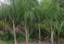 15公分黄花风铃木(地苗)价格 福建风铃木种植基地