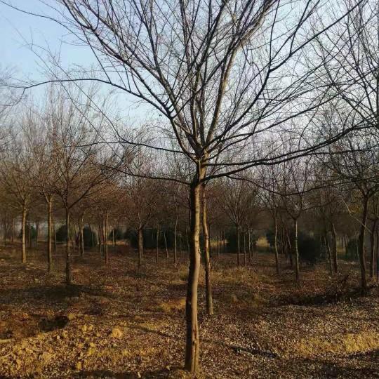 8公分榔榆价格 榔榆种植基地