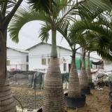酒瓶椰子多少钱一株 酒瓶椰子树苗价格