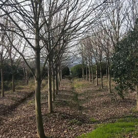 10公分七叶树价格 七叶树种植基地