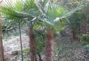 50公分高棕榈树价格 江苏棕榈树基地