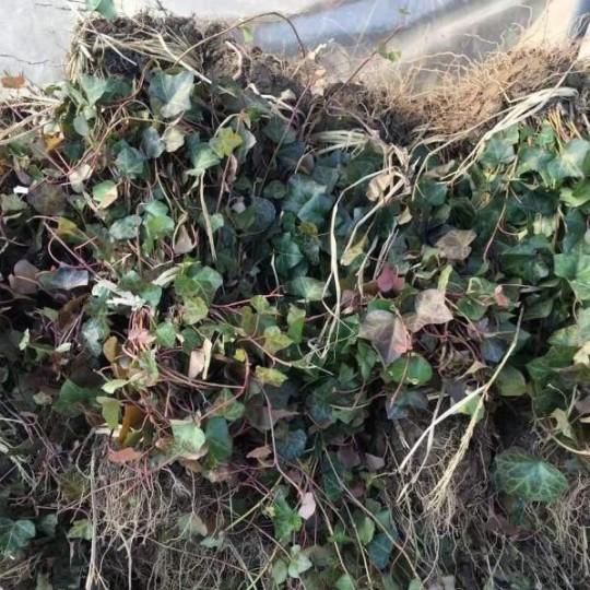 常春藤哪里有卖的 江苏常春藤基地