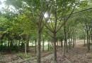 高20-30公分红黄花扶桑(朱槿)