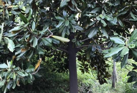 15公分广玉兰多少钱一棵 广玉兰树市场价格