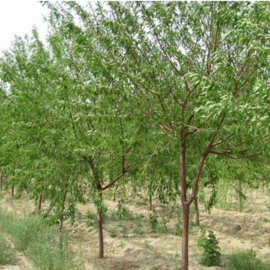 12公分毛桃树价格 江苏毛桃树基地