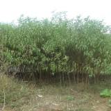 18公分毛桃树价格 江苏毛桃树基地
