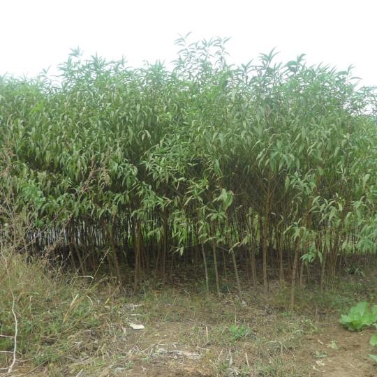 10公分毛桃树价格 江苏毛桃树基地