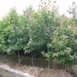 2公分枫香价格 枫香种植基地