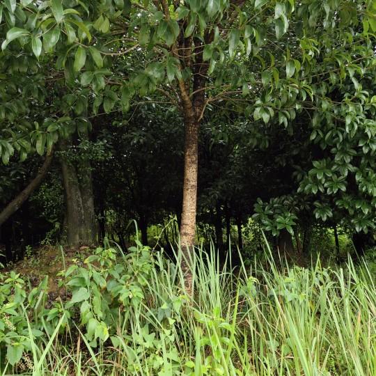 3公分桂花苗 3-12公分桂花树价格